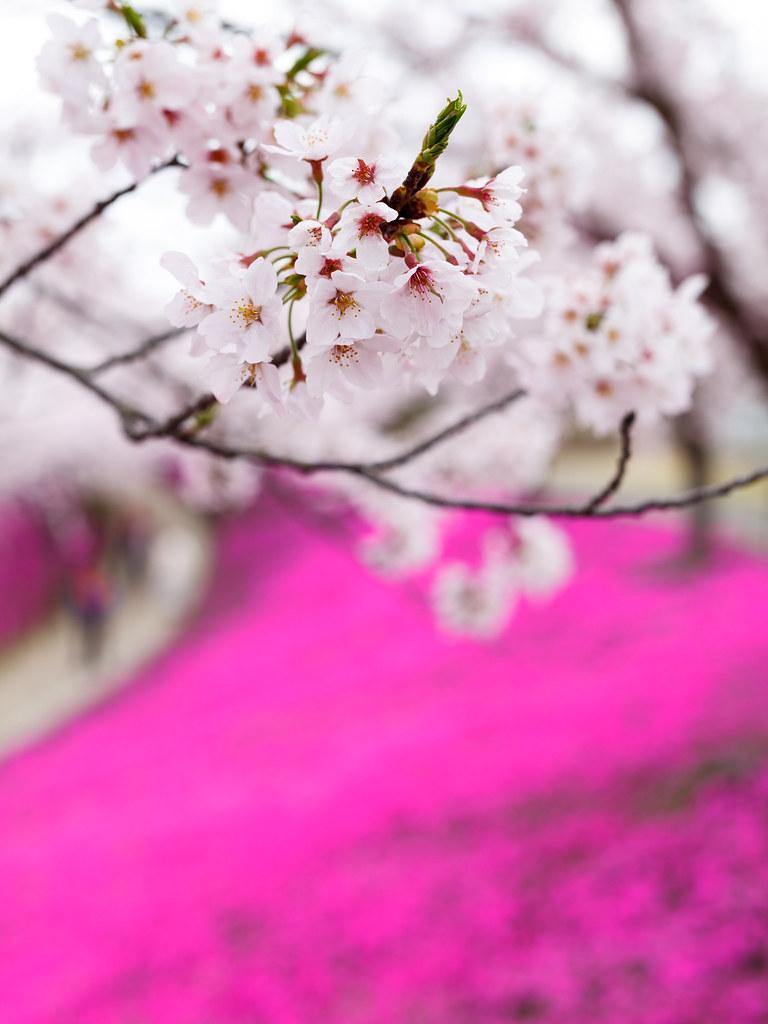 20160412_08_large statue of Buddha & Cherry Blossoms Phlox subulata