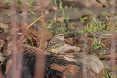 IMG_1523.jpg Palm Warbler, Natural Bridges