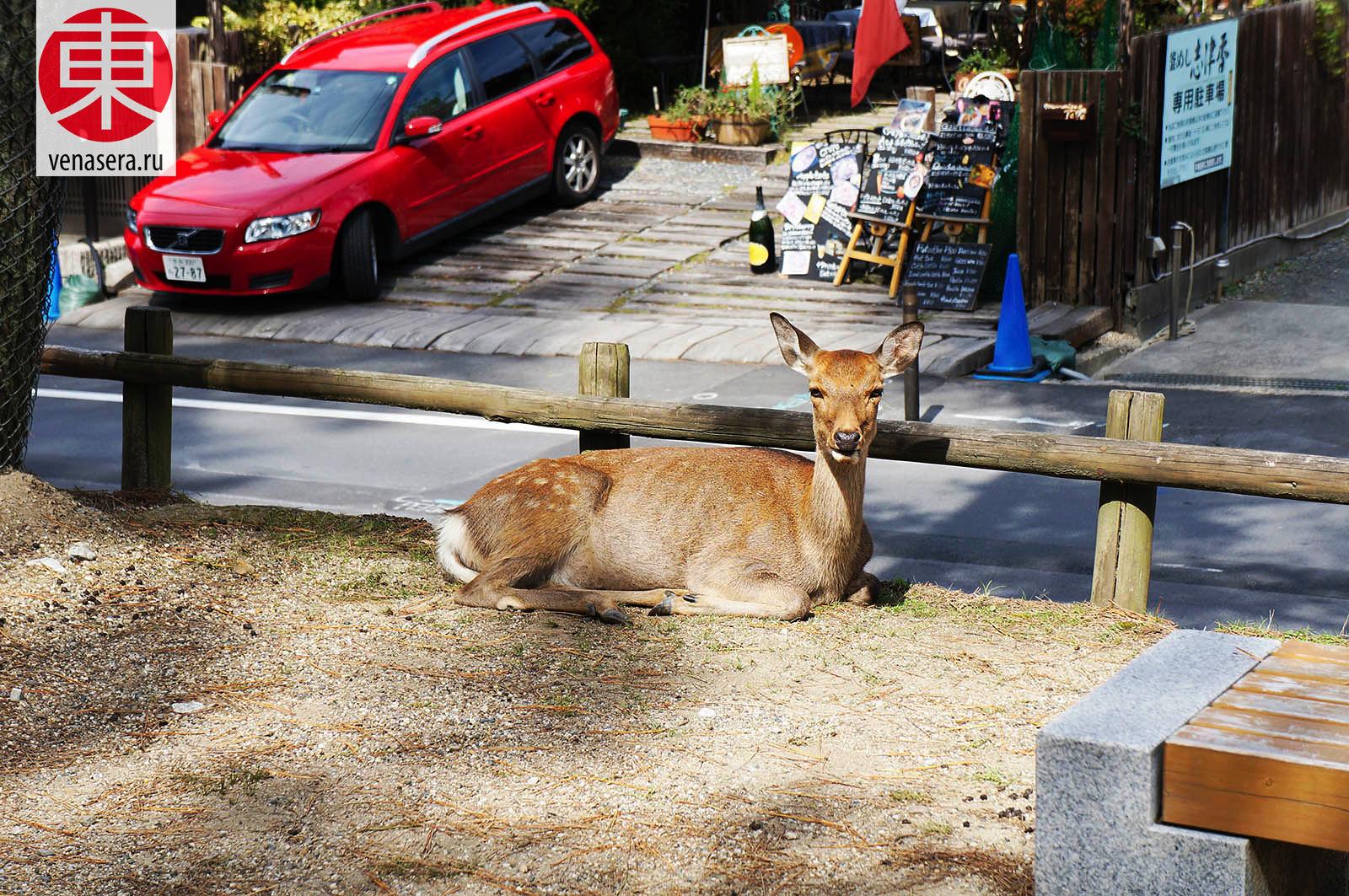 Путешествие в Нара, Поездка в Нара, Олени в г. Нара, Нара, Nara, 奈良, Япония, Japan, 日本.