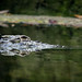 Small photo of Gharial at Singapore Zoo