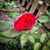 beauty #rose #picoftheday #photo #nature #mi #mi3 #mifoto
