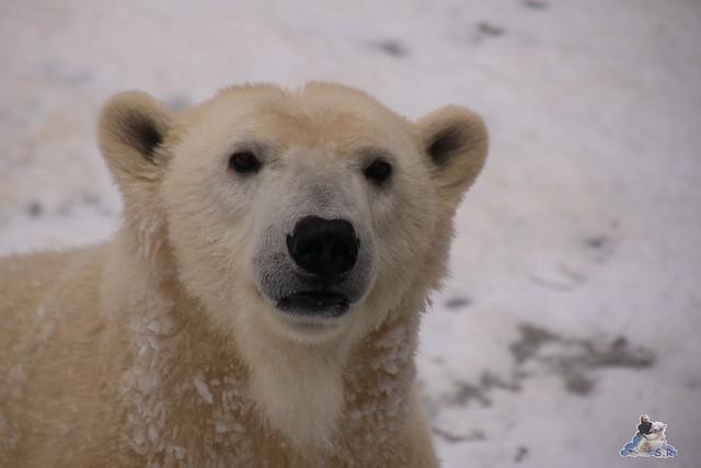 Eisbär Fiete im Zoo Rostock 23.01.2016  045