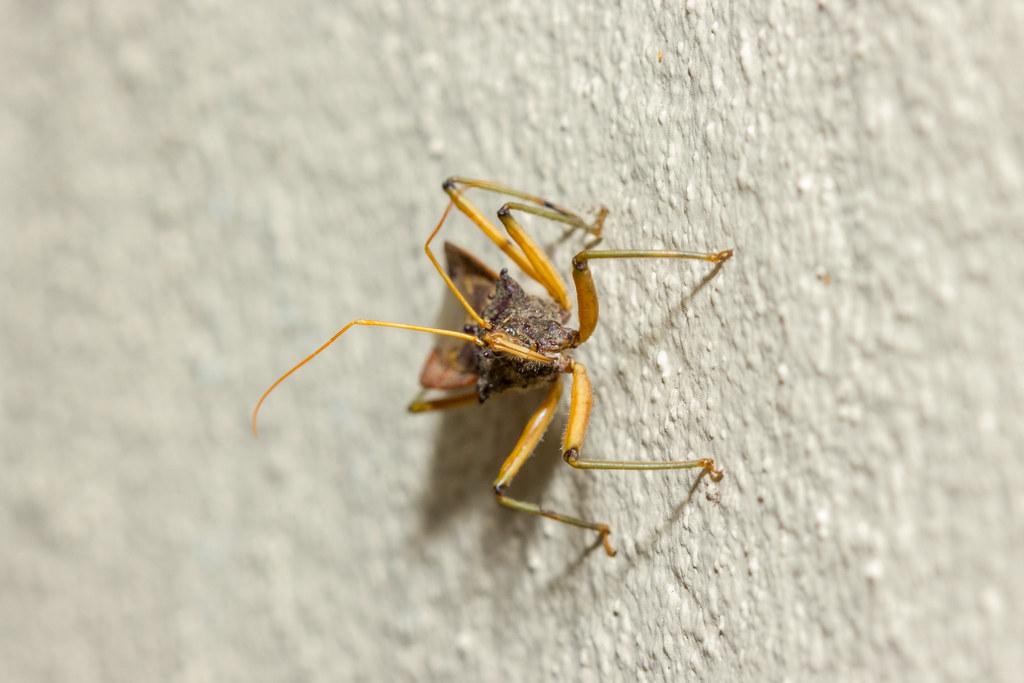 Flickr photos tagged reduviidae  9d15e58238fee