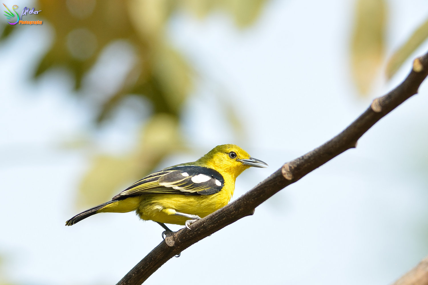 Common_Iora_1058