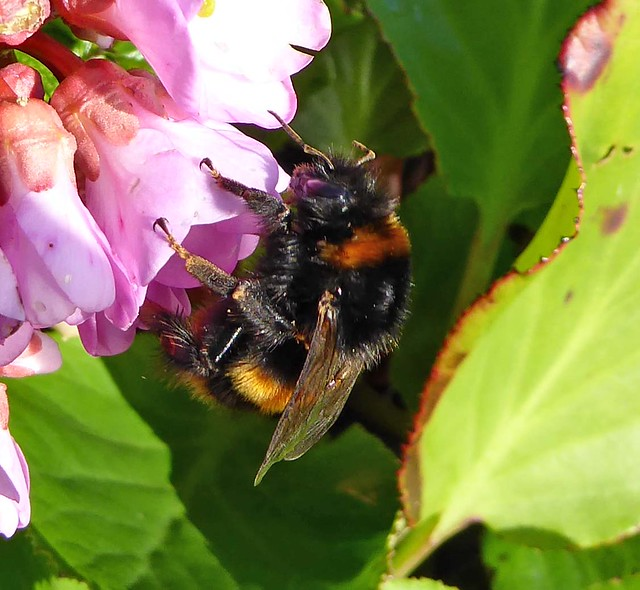 buff-tailed bumblebee queen1