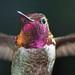 Anna's Hummingbird by toryjk