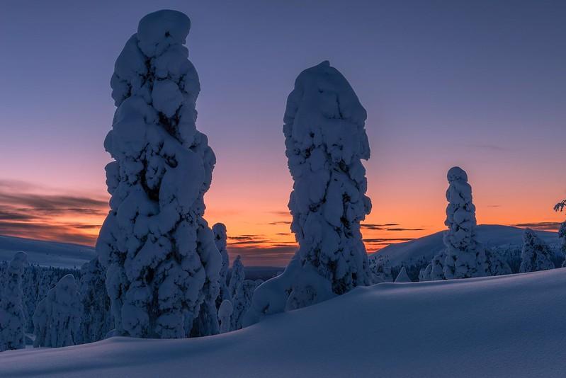 Snowy trees at dawn - Äkäslompolo