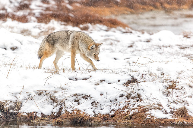 Coyote (Canis latrans) - Hunting along the Madison River - Yellowstone National Park