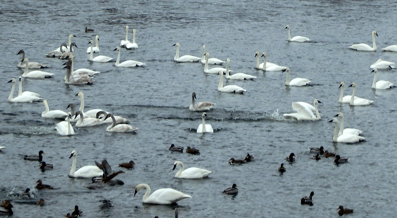 one swimming swan with a water trail behind it, and the other already lost in the crowd