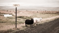 Vintage Sheep Hiking