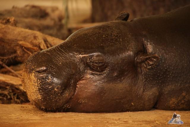 Eisbär Fiete im Zoo Rostock 20.03.2016  059