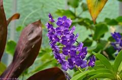 Orchidées au Jardin Botanique de Genève (CH)