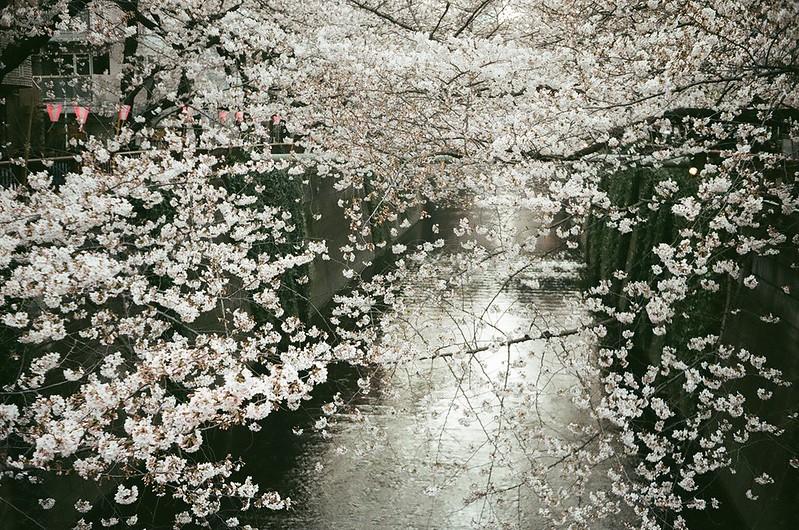 桜 by Rollei B35 2016年3月31日