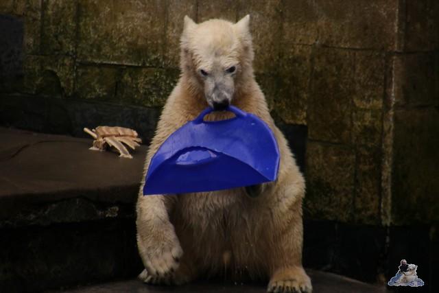 Eisbär Fiete im Zoo Rostock 13.03.2016 Teil 2  0170