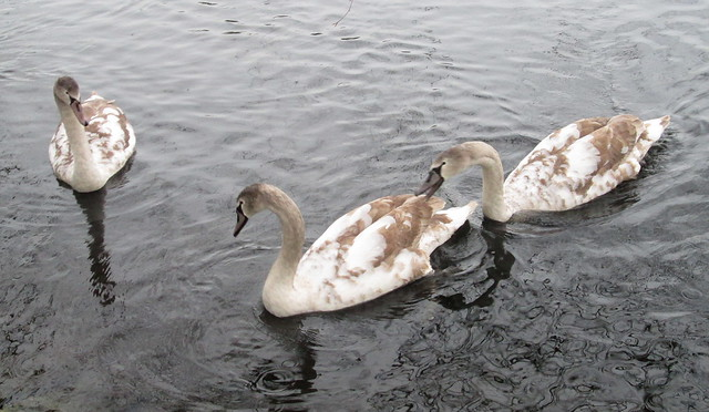 Cygnets, Beveridge Park, Kirkcaldy, Nov 2015 2