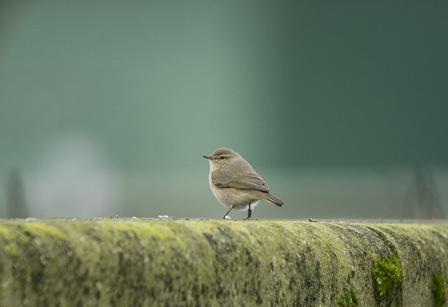 Siberian Chiffchaff, Marston Sewage Works, 17th January 2016