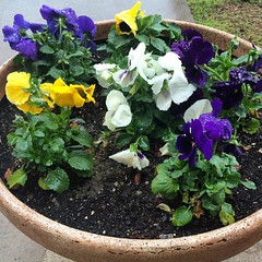 Some pansies in front of the office building, enjoying the rain.