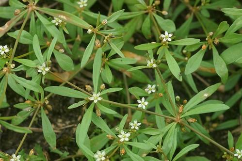 帰化植物 クルマバザクロソウ