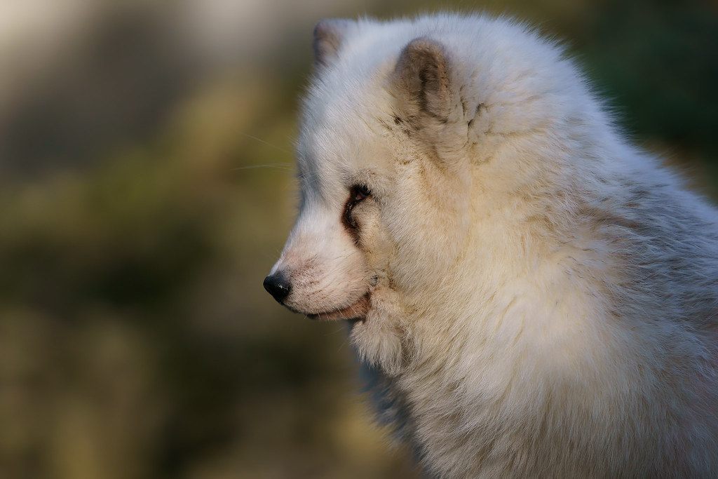 Arctic Fox (Polarfuchs)