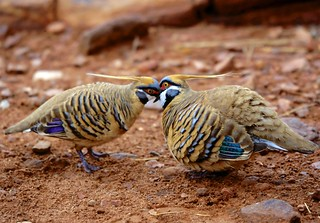 Spinifexduiven - Spinifex pigeons