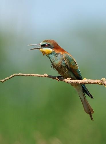 Guêpier d'Europe Merops apiaster - European Bee-eater
