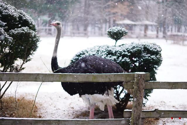 Ostrich in snow