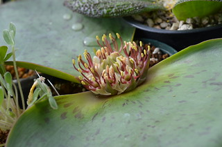 DSC_2373 Massonia latifolia マッソニア ラティフォリア