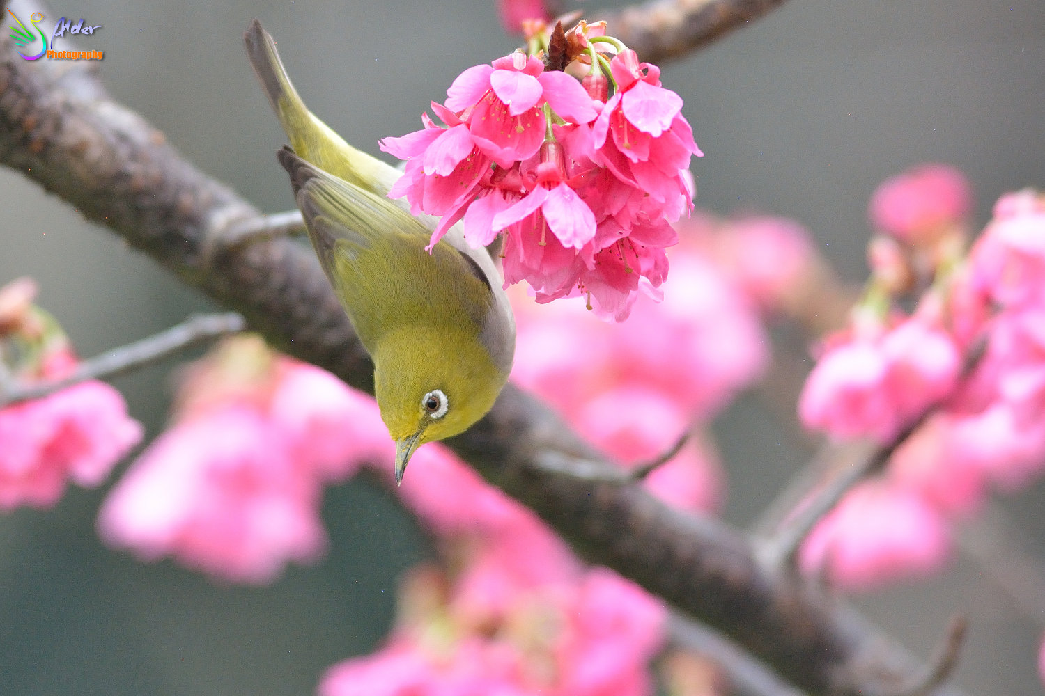 Sakura_White-eye_5864