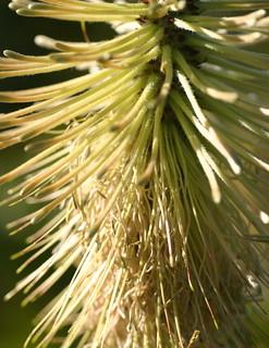Green scepter, Paranomus reflexus, Kirstenbosch National Botanical Garden, Cape Town, South Africa