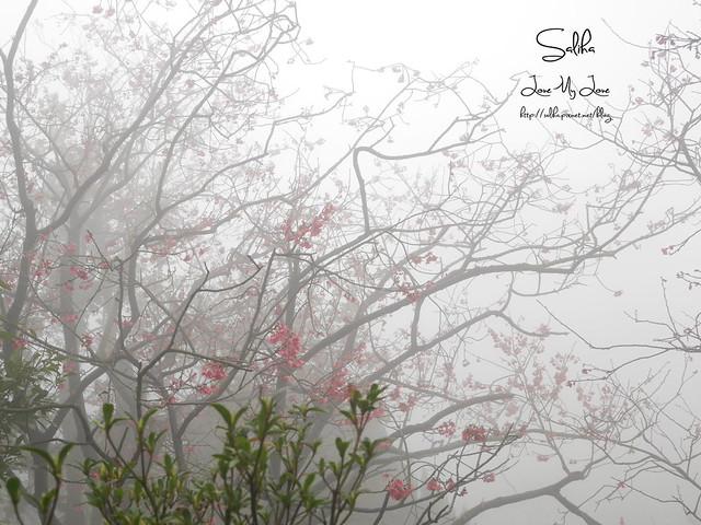 台北一日遊景點陽明山花季賞櫻花 (18)