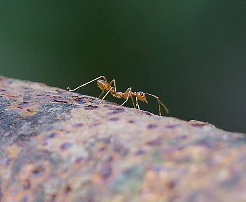 brown india detail macro eye insect asian asia ant goa large antenna weaverant oecophyllasmaragdina