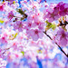 first cherry blossom of this year - 河津桜 by turntable00000