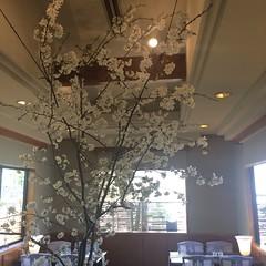 カフェの桜 2016/3/29