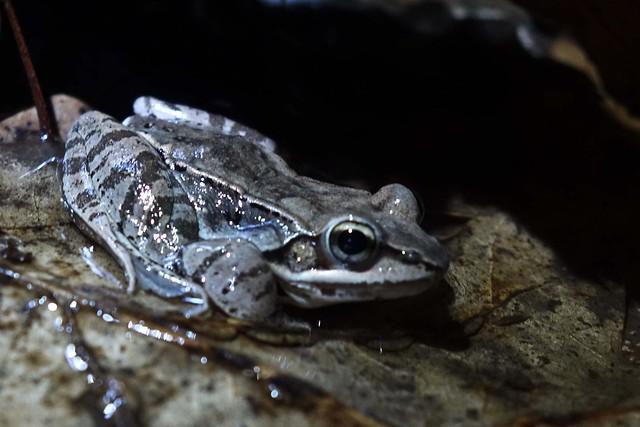 DSC01024-wood frog