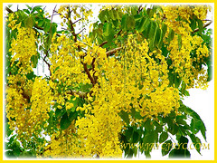 Cassia fistula (Golden Shower Tree/Cassia, Purging Cassia/Fistula, Indian Laburnum) by the roadside, Feb 7 2014