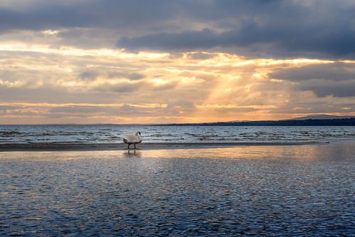 ireland bird wet water swan ray northernireland