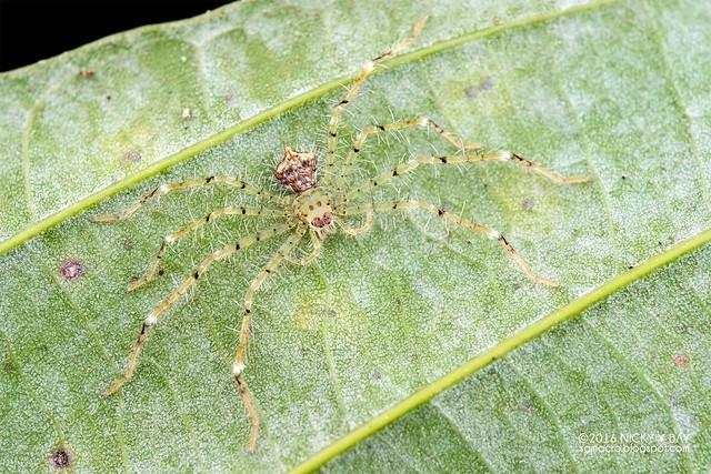 Huntsman spider (Pandercetes sp.) - DSC_8109