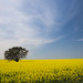 Small photo of Fields of Canola