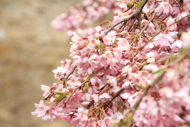 Cambridge blossom