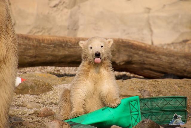 Eisbär Lili im Zoo am Meer Bremerhaven 09.04.2016 Teil 1  050