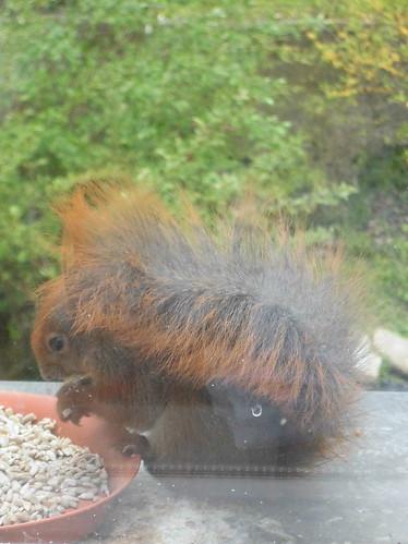 jugendliches Eichhörnchen