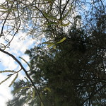 catkins and pine