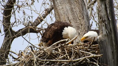 Eagles feeding babies
