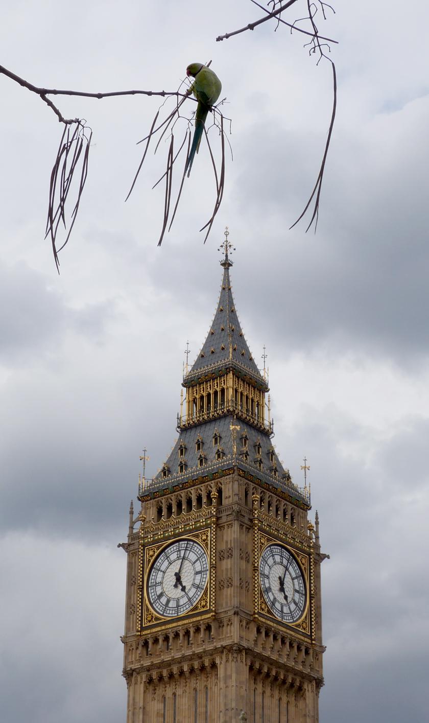 Parliamentary Parakeet