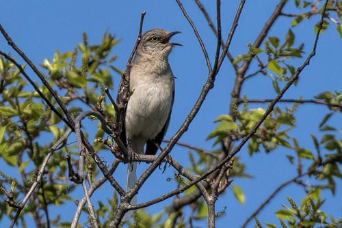 Negri-Nepote: Mockingbird with White Tail