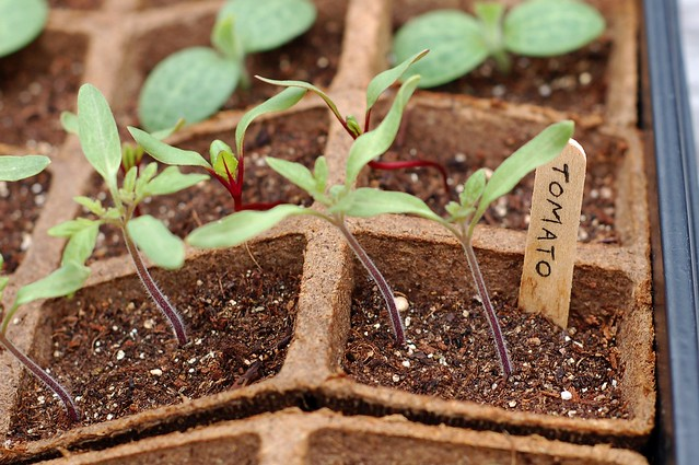 "Tomato seedlings - Hudson Valley Seed Library's ""Stoneridge Tomato"" by Eve Fox, the Garden of Eating, copyright 2016"