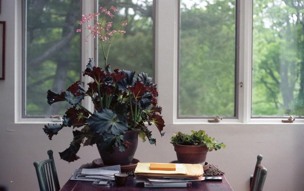 giant begonia