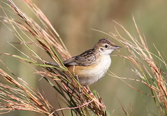 Zitting cisticola or streaked fantail warbler (Cisticola juncidis),at Rietvlei Nature Reserve, Gauteng, South Africa