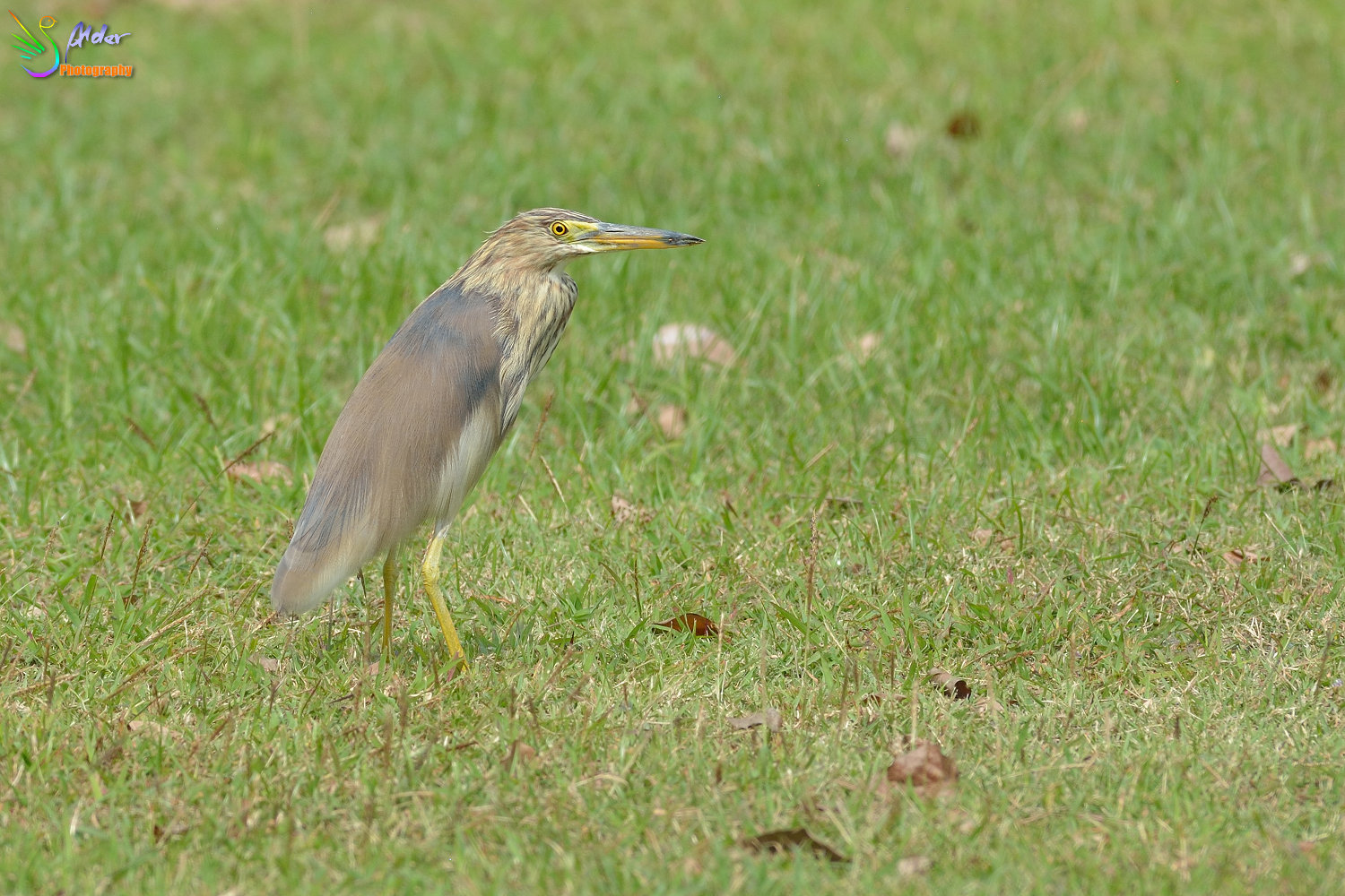 Chinese_Pond_Heron_1331
