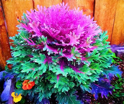 Flowering Cabbage - Alaska